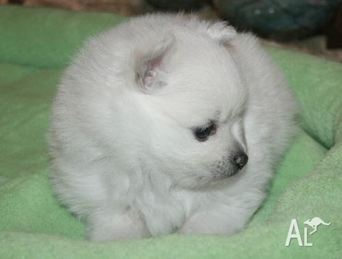 Pomeranian Puppies For Sale: Teacup Pomeranian Puppies For