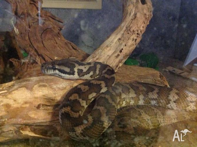 Darwin Python, Female with Tank