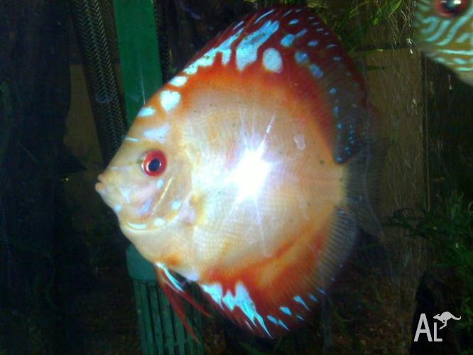 Discus Four Fish In Total Including Breeding Pair For Sale In Croydon Victoria Classified Australialisted Com