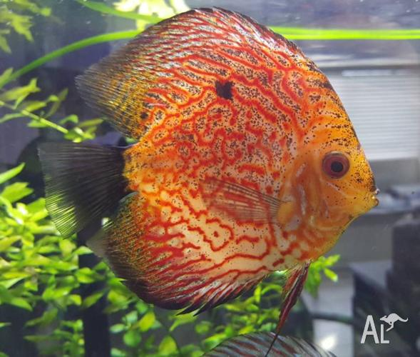 Discus, Pigeon Blood and High Fin Red/White