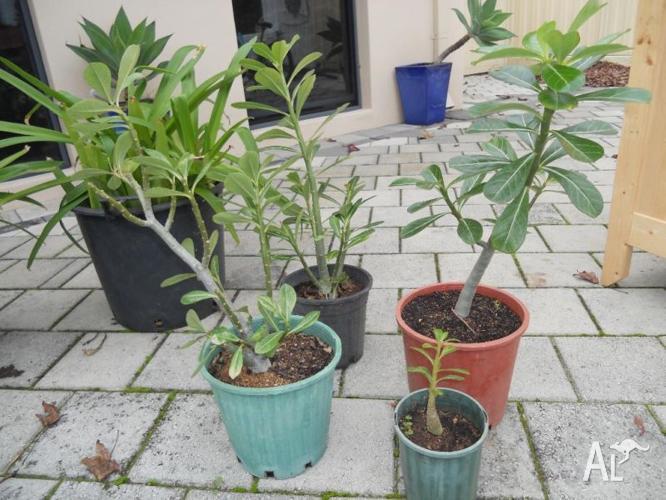 Dwarf apple, desert roses, budah belly plants,