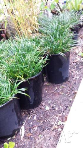 DWARF MONDO GRASS OVER 60 IN 200MM POTS VERY