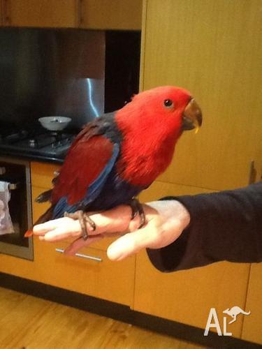 Eclectus - handreared hen - lovely tame young bird