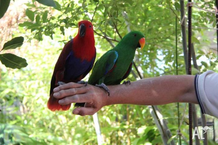 Electus Parrot , Young Pair .