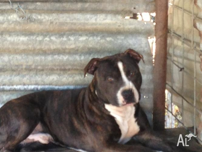 Blue Staffy For Sale : English staffy puppies blue for sale in collinsville queensland