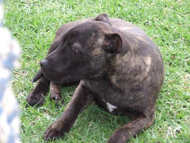 english staffy pure bred