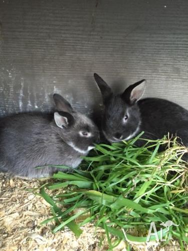 EOI on cute Rabbits! Netherland Dwarf X