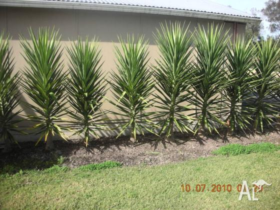 ever green yucca plants tree palm shrub for sale in
