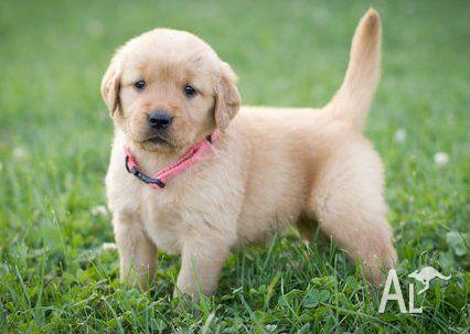Excellent Golden Retriever Puppies Out Looking for new     for Sale
