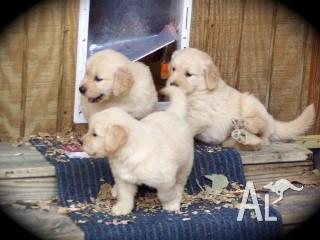 EXCEPTIONAL GOLDEN RETRIEVER PUPPIES NOW