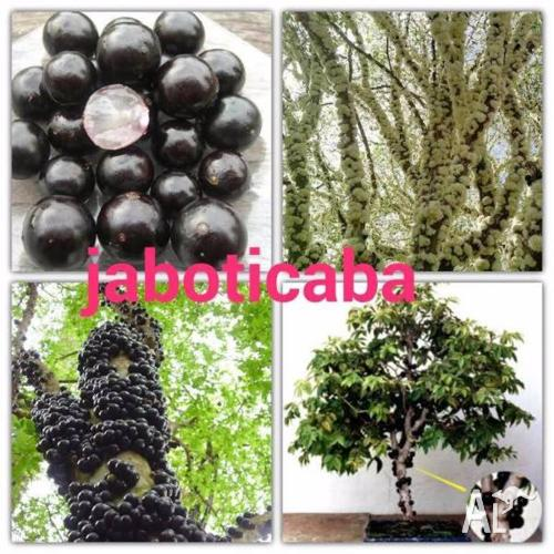 Exotic Tropical Fruit Trees and Plants for sale