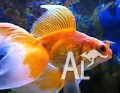 Fantail Goldfish 18cm Breeding Size