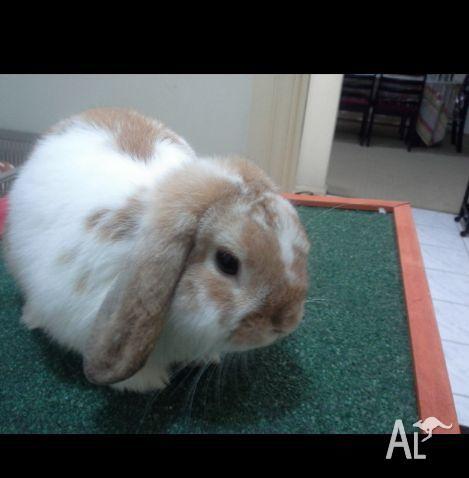 Female Mini Lop Rabbit Hutch And Accessories For Sale For
