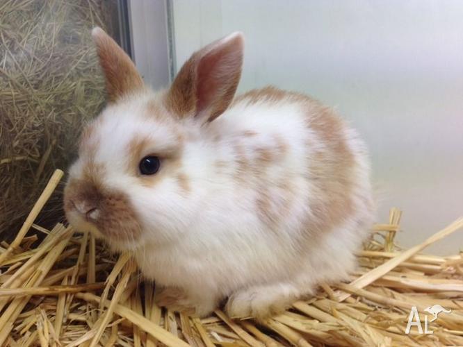 Female Mini Lop Rabbits