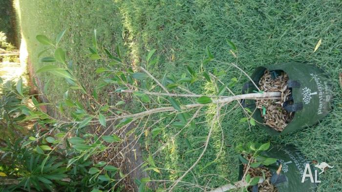 FIG TREES - Small Leaved