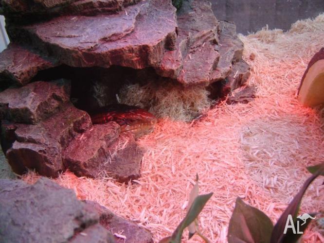 for sale , 2 Blue Tongue Lizard + Enclosure