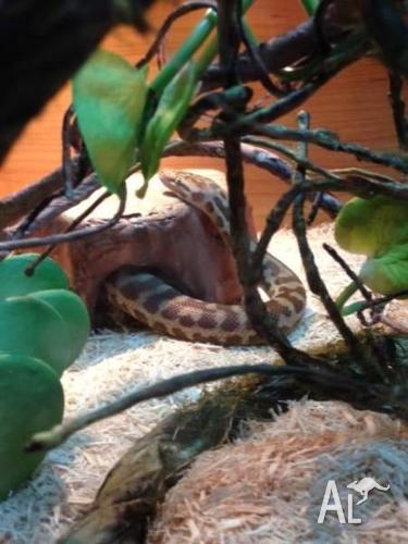 FOR SALE Three year old Stimson's python (antaresia