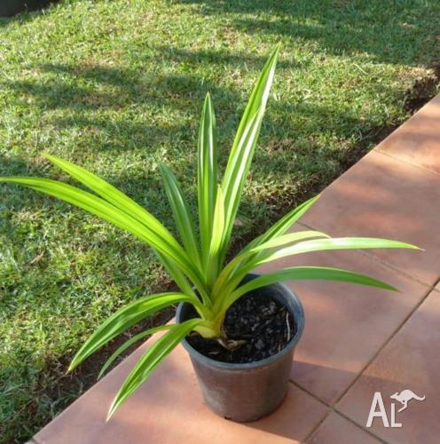 Fragrant Pandan Pandanus amaryllifolius Plant