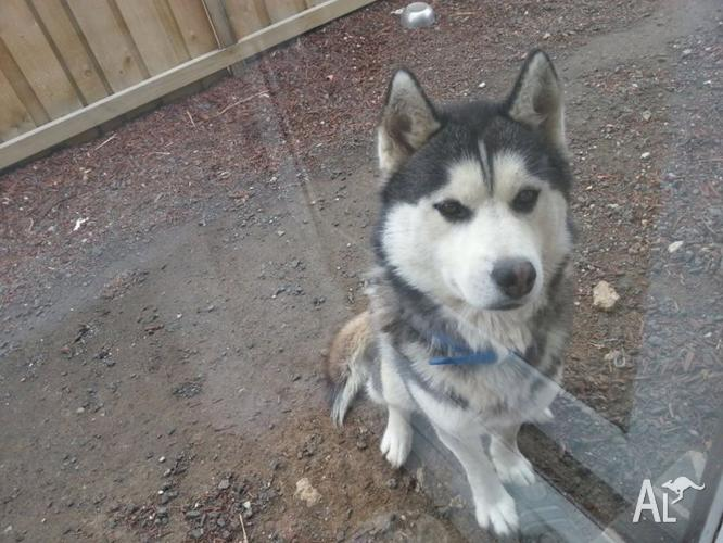 free to a good and loving home - Siberian husky
