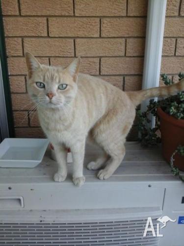 free to good home HONey Cat
