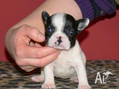 French Bulldog Puppies For Sale Victoria Australia