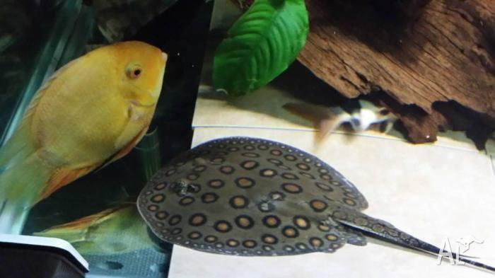 freshwater stingray for sale