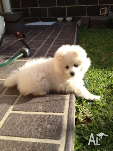 full breed pomeranian full breed pomeranian for sale in cecil hills new south 6339