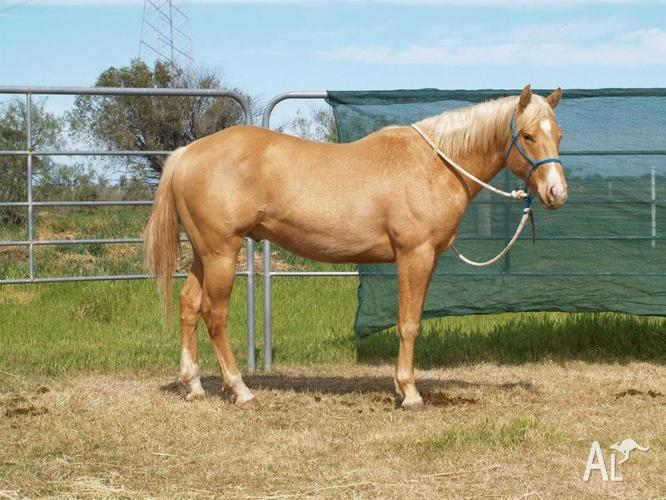 GOLD CHAMPAGNE QUARTER HORSE GELDING BY IMPORTED
