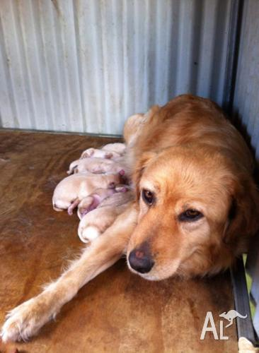 Golden Retriever X Labrador Puppies For Sale In Beachport South