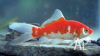 Goldfish Varieties For Sale