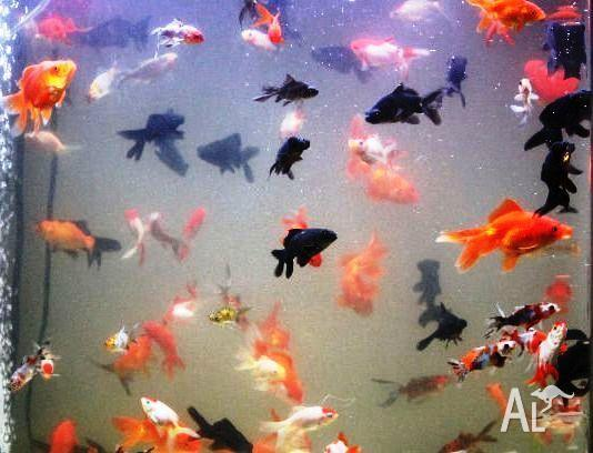 Goldfish Varieties For Sale (cold water fish)