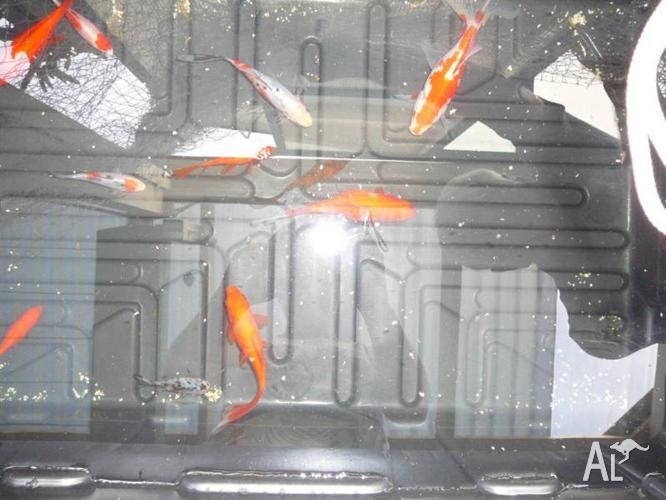 Goldfish various sizes