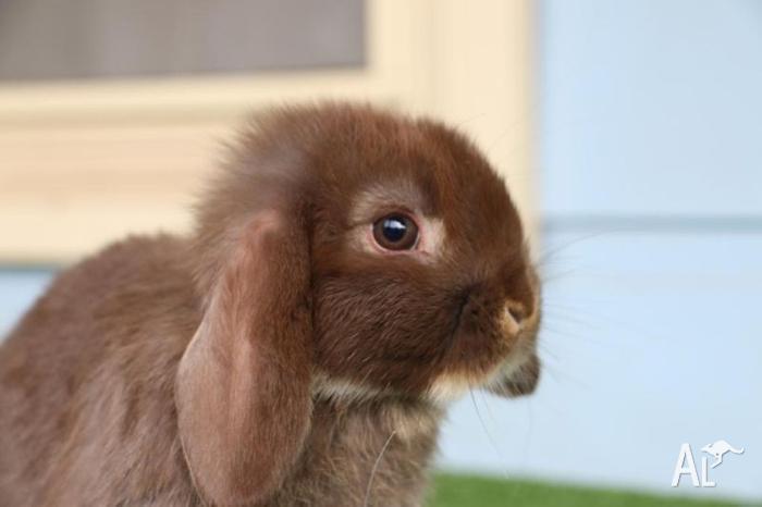 Gorgeous 8 week old Baby dwarf lop bunnies
