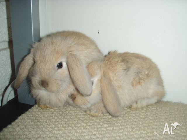 gorgeous and cute purebred baby mini lop bunnies at 7