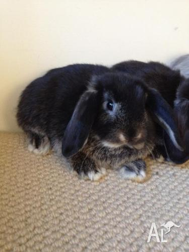 Gorgeous and cute purebred baby mini lop bunnies over 7