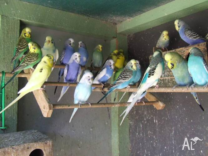Gorgeous colourful budgies
