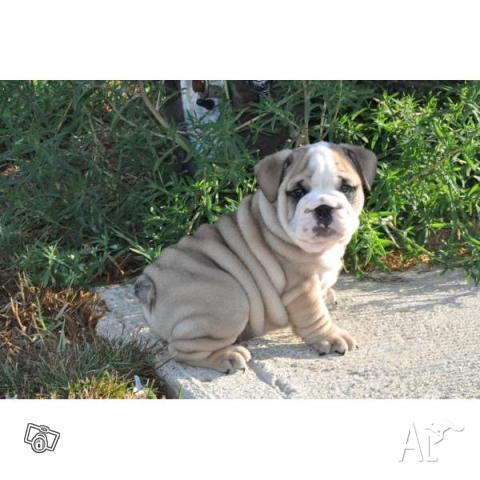 Puppies  Adoption on Gorgeous English Bulldog Puppies For Adoption For Sale In Sydney  New