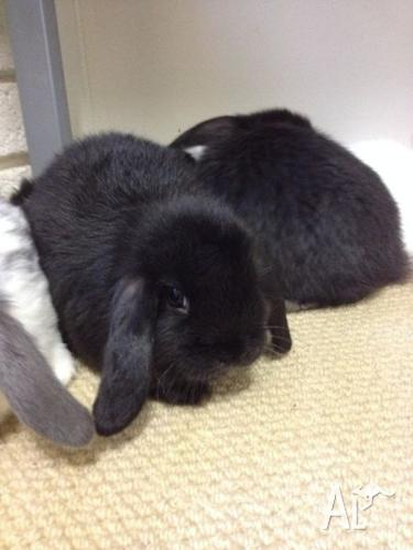 Gorgeous purebred baby mini lop bunnies