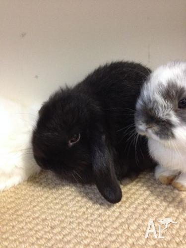 Gorgeous purebred baby mini lop bunnies toilet trained