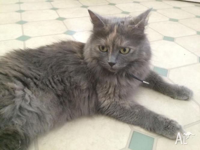 Gorgeous SMOKEY GREY TORTOISE SHELL Female Cat