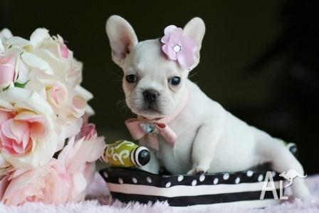Gorgeous Teacup French Bulldog Puppies for Sale in SYDNEY, New South