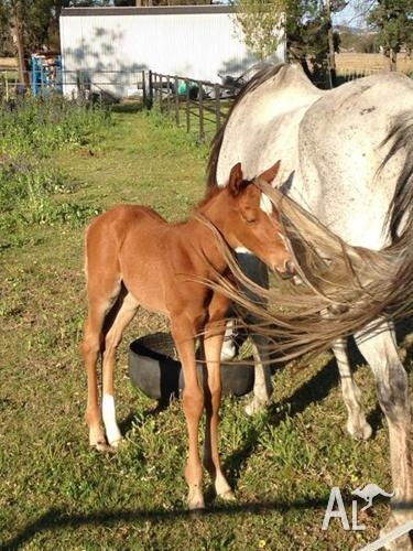 Grand Lodge brood mare with colt at foot