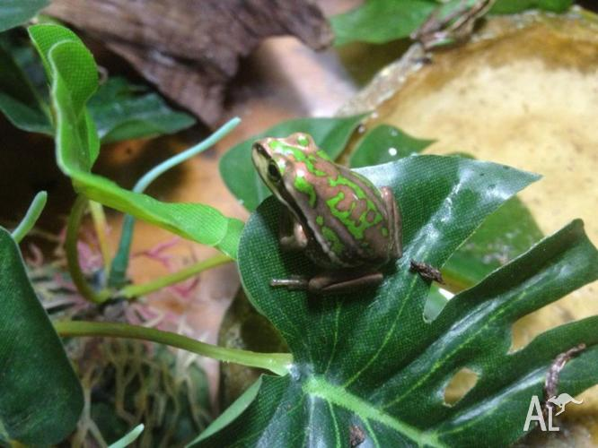Green and Golden Bell Frogs and Tadpoles for Sale in FINDON, South