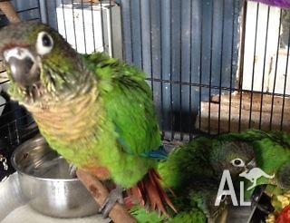 Green Cheek Conures Hand Raised for Sale in AEROGLEN