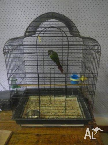 Hand raised green check conure , cage and play stand
