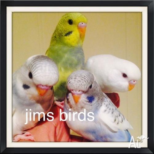 Hand tame budgies/ HT Princess Parrot