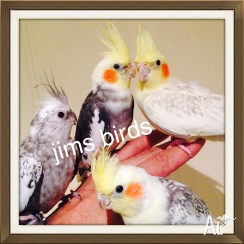 Hand Tame Cockatiels/HT Princess Parrot