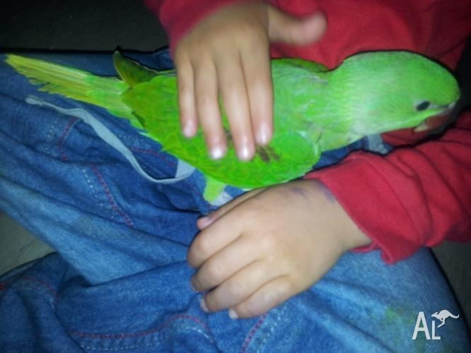 HANDREARED NEPALESE ALEXANDRINE PARROT (LARGE BABIES) for Sale in