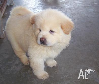 Healthy/vet checked chow chow puppies