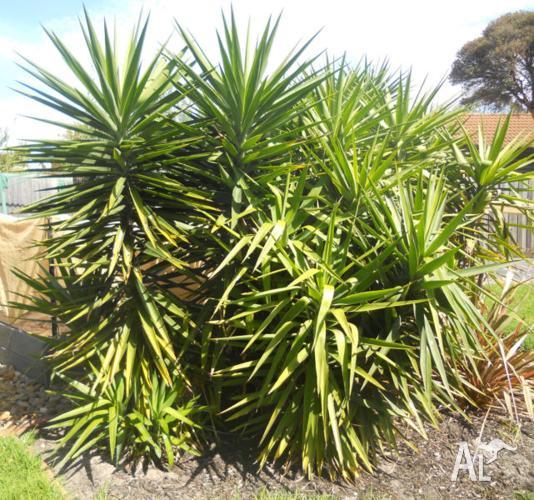 Heaps of Yucca, Aloe Vera & Agave - very hardy plants!